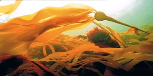 kelp 300x150 Fast flowing currents